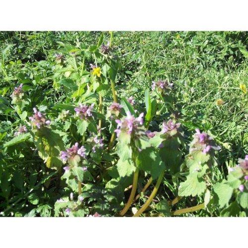 Wild Flower - Red Deadnettle - Lamium Purpureum - 100 Seeds