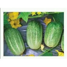 40 high quality Bangladeshi Seeds, Short Cucumber/ Khira/ খিরা। 100% Organic