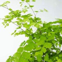 Adiantum Raddianum Fragrans Maiden Venus Hair Fern Houseplant 12cm Pot