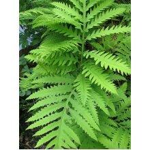 Onoclea Sensibilis Sensitive Fern Young Plant in 9cm Pot x 3 Pots