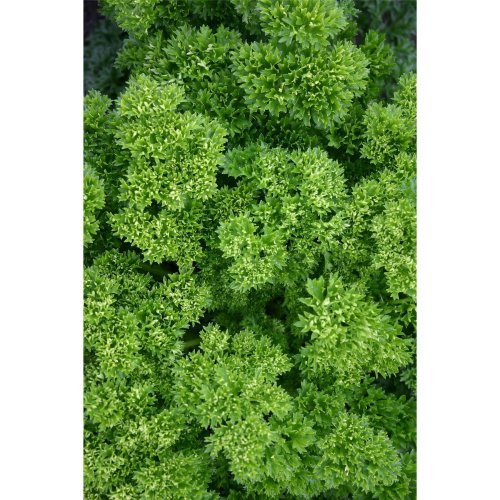Vegetable - Parsley - Champion Moss Curled - 500 Seeds