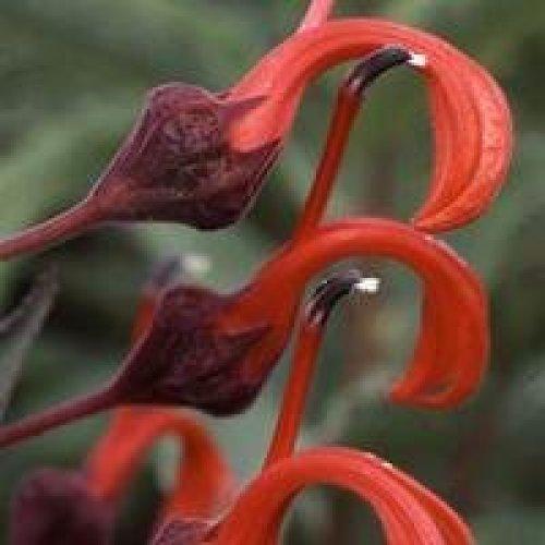 Flower - Lobelia Tupa - 100 Seeds