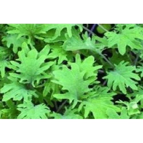 Vegetable - Borecole - Curly Kale - Red Russian - 1200 Seeds