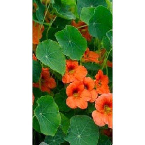 Flower - Nasturtium - Salmon Baby - 50 Seeds