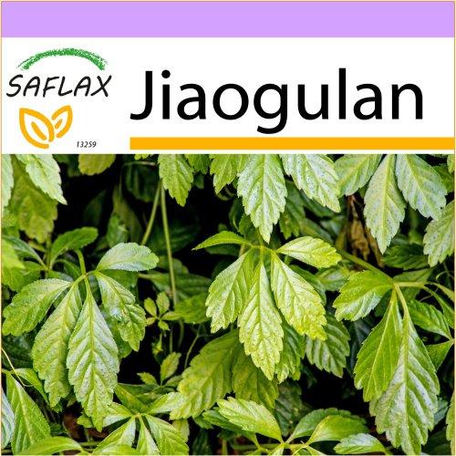 SAFLAX  - Jiaogulan - Gynostemma pentaphyllum - 30 seeds