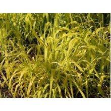 Milium effusum Aureum Golden Millet Grass Young Plant 9cm Pot x 3 Pots