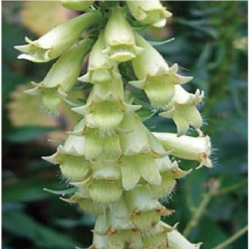 Flower - Digitalis Lutea - Straw Foxglove - 200 Seeds