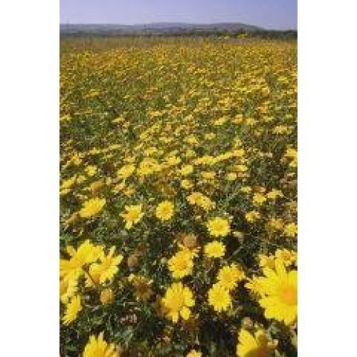 Wild Flower - Corn Marigold - Glebionis Segetum - 1500 Seeds