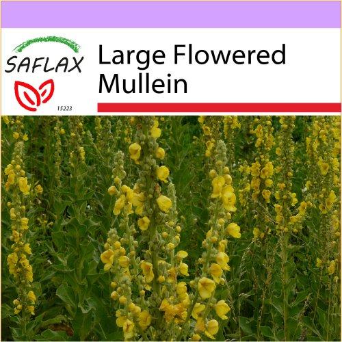 SAFLAX  - Large Flowered Mullein - Verbascum densiflorum - 500 seeds