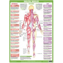 Muscle Anatomy Posterior Poster