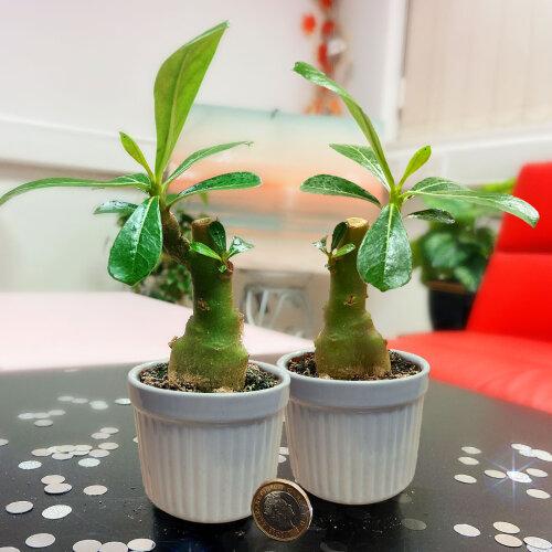 Unusual Adenium Obesum Desert Rose Succulent House Plant in 7cm Ceramic Pot Office