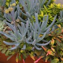 Senecio serpens (Curio repens) Blue chalksticks Young Plant 9cm Pot x 3 Pots