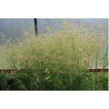 Deschampsia Golden Dew Tufted Hair Grass Young Plant 9cm Pot x 3 Pots