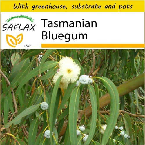 SAFLAX Potting Set - Tasmanian Bluegum - Eucalyptus globulus bicostata - 100 seeds - With mini greenhouse, potting substrate and 2 pots