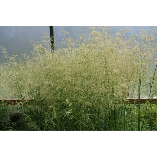 Deschampsia Golden Dew Tufted Hair Grass Young Plant 9cm Pot x 3 Pots