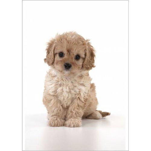 Dog Cavapoo puppy ( 7 wks old ) on white background (Fine Art Print)