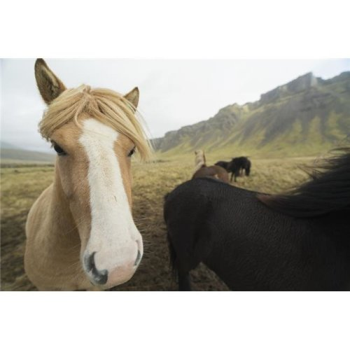 Icelandic Horses - Iceland Poster Print - 38 x 24 in. - Large