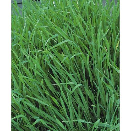 Green Manure - Grazing Rye - 250g