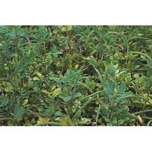 Green Manure - Fenugreek - 100g
