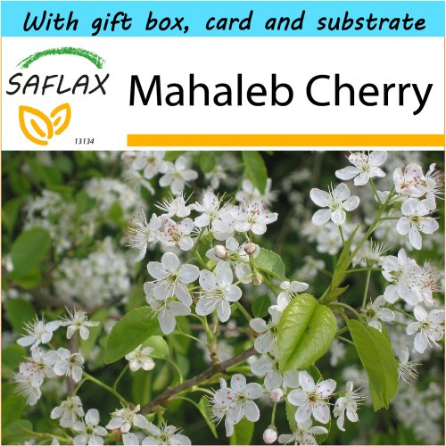 SAFLAX Gift Set - Mahaleb Cherry - Prunus mahaleb - 30 seeds - With gift box, card, label and potting substrate