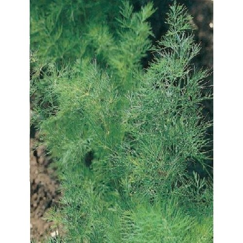 Herb - Dill - 2500 Seeds