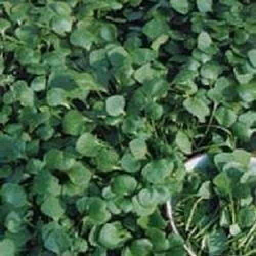 Salad - Purslane - Winter Miners Lettuce - 2500 Seeds