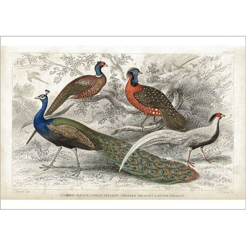 Peacock and Pheasants old 1852 litho print (Poster Print)