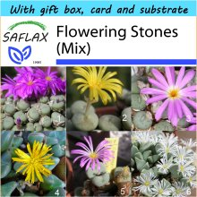 SAFLAX Gift Set - Flowering Stones / Conophytum Mix - Conophytum Mix - 40 seeds - With gift box, card, label and potting substrate