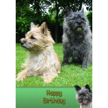 """Cairn Terrier Birthday Greeting Card 8""""x5.5"""""""
