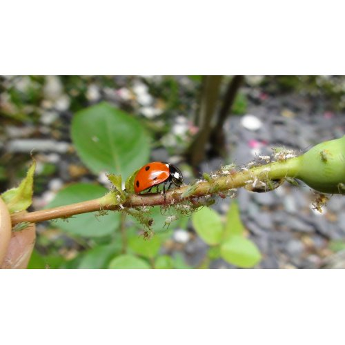 Adult Ladybirds Offer - 25 PLUS 10 FREE