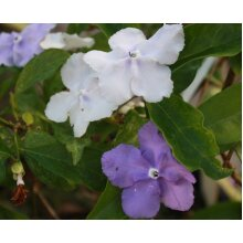 Brunfelsia pauciflora Yesterday Today Tomorrow Young Plant 9cm Pot x 3