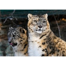 "Snow Leopard Blank Greeting Card 8""x5.5"""