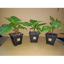 3x 7cm super hot Chocolate Douglah chilli plant pack