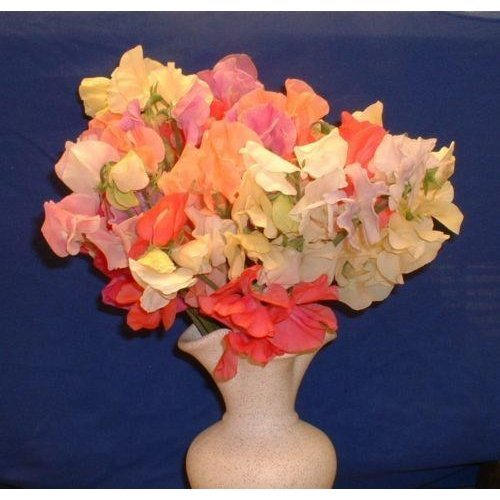 Flower - Sweet Pea - Spencer - Pastel Shades Mix - 18 Seeds