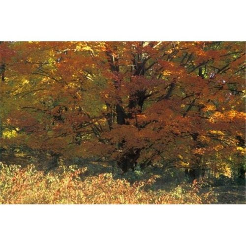 Autumn Tree Poster Print by David Chapman, 34 x 22 - Large