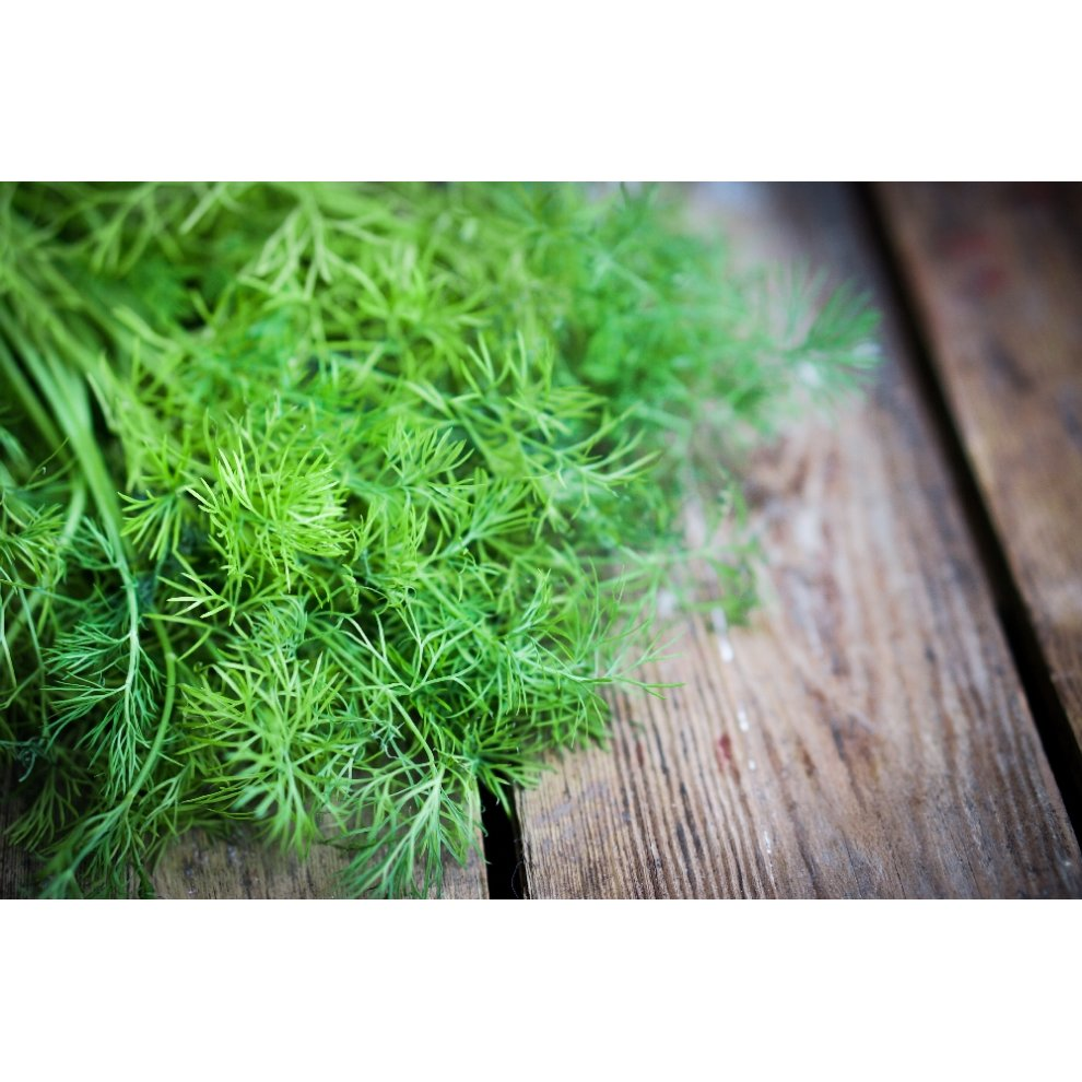 700 Seeds SAFLAX Anethum graveolens with Potting Substrate for Better Cultivation Dill Organic
