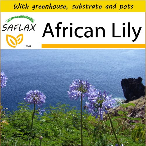 SAFLAX Potting Set - African Lily - Agapanthus orientalis ssy. praecox (blue) - 50 seeds - With mini greenhouse, potting substrate and 2 pots