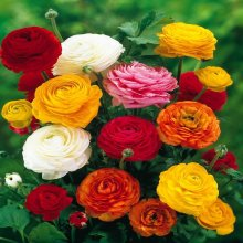 12 MIXED COLOUR RANUNCULUS,SOLD AS DRY CORMS
