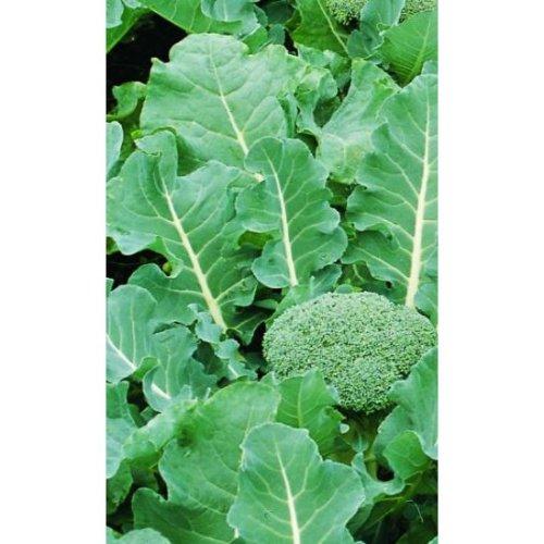 Organic - Vegetable - Calabrese Fiesta F2 - 40 Seeds (Standard)