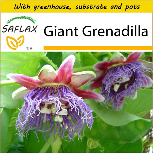 SAFLAX Potting Set - Giant Grenadilla - Passiflora quadrangularis - 12 seeds - With mini greenhouse, potting substrate and 2 pots