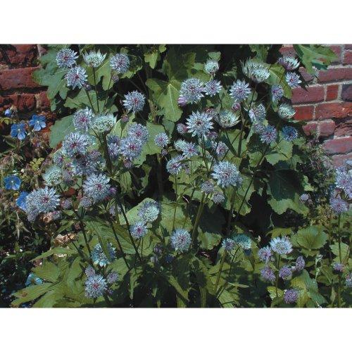 Flower - Astrantia - Major Primadonna - 20 Seeds