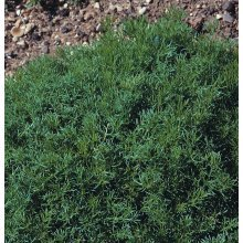 Herb - Chamomile Lawn or Roman - Chamaemelum Nobile - 5000 Seeds