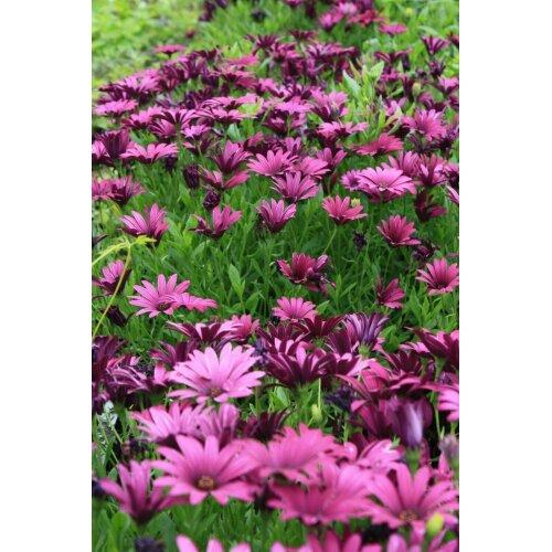 Osteospermum Tresco Purple African Daisy Young Plant 9cm Pot x 3 Pots