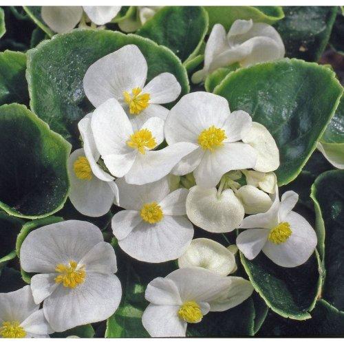 Flower - Begonia - Heaven White F1 - 100 Seeds
