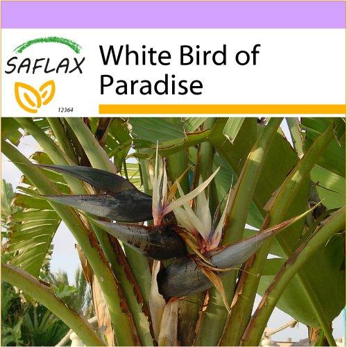 SAFLAX  - White Bird of Paradise - Strelitzia nicolai - 5 seeds