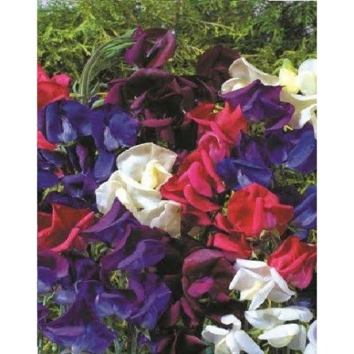 Flower - Sweet Pea - Old spice -Starry Night - 40 Seeds