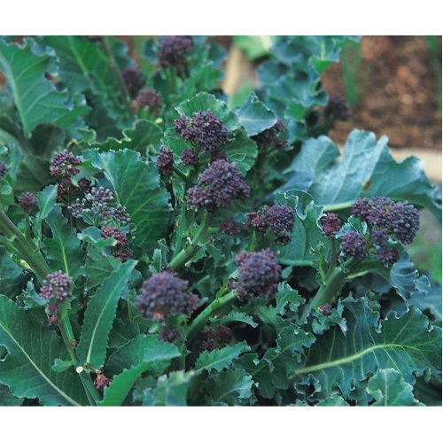 Vegetable - Broccoli - Early Purple Sprouting - 2000 Seeds