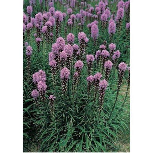Flower - Liatris Spicata - Floristan Violet - 50 Seeds