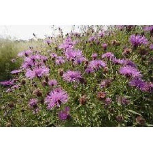 Wild Flower - Common Knapweed - Centaurea Nigra - 1500 Seeds