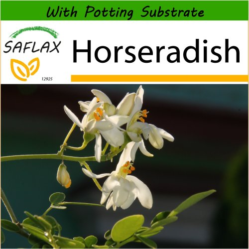 SAFLAX  - Horseradish - Moringa oleifera - 10 seeds - With potting substrate for better cultivation